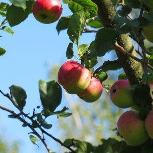 Oh Apfelbaum, oh Apfelbaum, mein treuer Wegbegleiter – Wie meine Apfelbäume starben und warum das auch für dich ein Problem ist