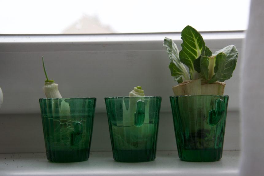 Regrowing – Zimmerpflanzen aus Gemüseresten